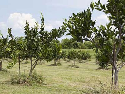 Citrus grove in Plaquemines Parish