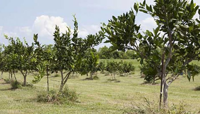 Citrus grove in Plaquemines Parish